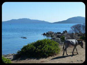 Ane sur l'île d'Asinara en Sardaigne